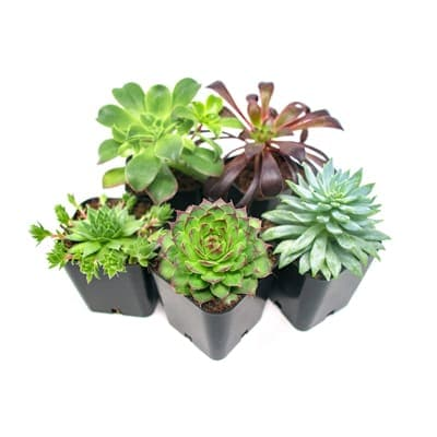 Delicious plants (5 packs)