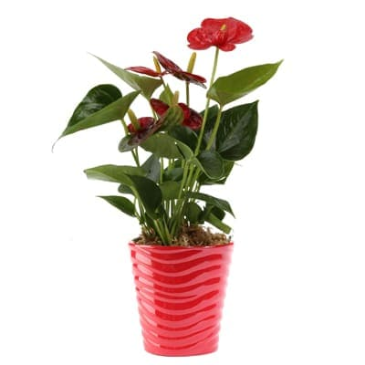 Costa Farms Blooming Anthurium Live as a gift from house plants