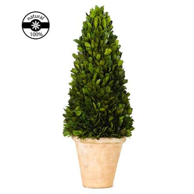 Protected topiary boxwood cone of plant origin for Christmas decor in natural boxwood